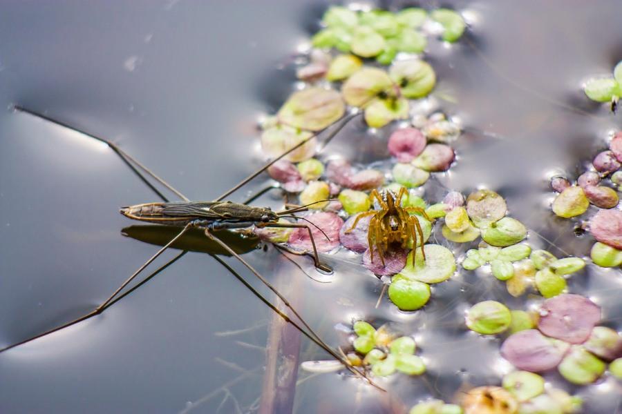wetlands_spider
